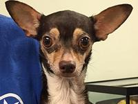 My story I am a male Chihuahua. I am about 3 years old