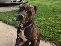 My story Diesel is a 5 yr old mix pitty. He is a loving