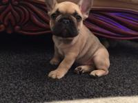 French Bulldog puppies IF you will fall in love at