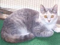 Dilute Calico - Alley - Medium - Young - Female - Cat