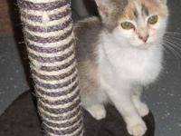 Dilute Calico - Aster - Medium - Young - Female - Cat