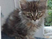 Dilute Calico - Bitsy - Small - Young - Female - Cat