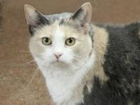 Dilute Calico - Bitzy - Medium - Adult - Female - Cat