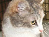Dilute Calico - Bonnie - Medium - Adult - Female - Cat