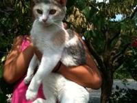 Dilute Calico - Calicomama - Medium - Adult - Female -