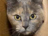 Dilute Calico - Capri - Medium - Adult - Female - Cat