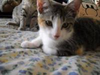 Dilute Calico - Iris - Medium - Young - Female - Cat