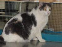 Dilute Calico - Jellybean - Medium - Adult - Female -
