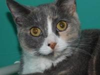 Dilute Calico - Jellybean - Small - Young - Female -