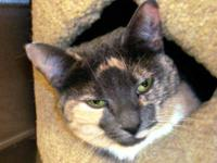 Dilute Calico - Joann~so Sad! - Medium - Adult - Female