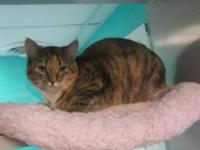 Dilute Calico - Kasey - Large - Young - Female - Cat