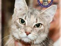 Dilute Calico - London - Medium - Adult - Female - Cat