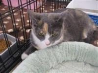 Dilute Calico - Madeline - Medium - Young - Female -