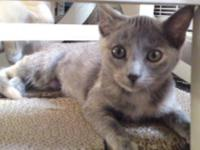Dilute Calico - Majic - Medium - Young - Female - Cat