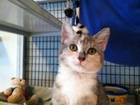 Dilute Calico - Mimosa - Small - Young - Female - Cat