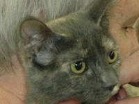 Dilute Calico - Miss Parker - Medium - Baby - Female -