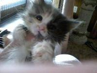 Dilute Calico - Molly - Medium - Young - Female - Cat
