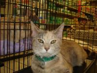 Dilute Calico - Mousie - Medium - Adult - Female - Cat
