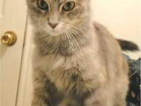 Dilute Calico - Nellie - Small - Baby - Female - Cat