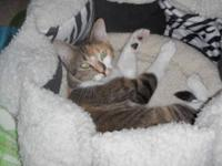 Dilute Calico - Nina - Small - Young - Female - Cat On