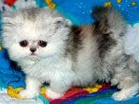 "Baby ""Anna "" exclusive and sweet Persian kitten dilute"