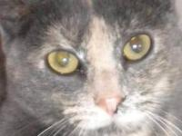 Dilute Calico - Prudence - Medium - Adult - Female -