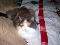 Dilute Calico - Pumpkin - Small - Adult - Female - Cat