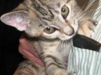 Dilute Calico - Rose&savannah - Medium - Baby - Female