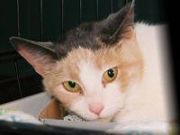 Dilute Calico - Samantha - Medium - Senior - Female -