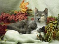 Dilute Calico - Ski - Small - Adult - Female - Cat Ski