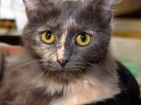 Dilute Calico - Sugar - Medium - Young - Female - Cat