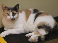 Dilute Calico - Winkie - Medium - Adult - Female - Cat