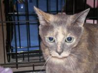 Dilute Tortoiseshell - Annie - Medium - Adult - Female
