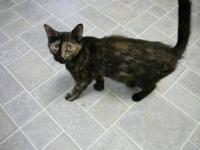 Dilute Tortoiseshell - Keri - Large - Young - Female -