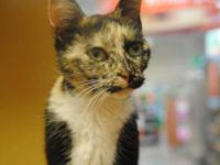 Dilute Tortoiseshell - Mousey - Medium - Adult - Female