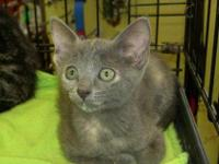 Dilute Calico - Grace - Medium - Baby - Female - Cat
