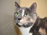 Dilute Calico - Maggie - Medium - Baby - Female - Cat