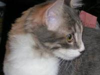 Dilute Calico - Pippa - Medium - Young - Female - Cat