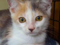Dilute Calico - Sierra - Medium - Baby - Female - Cat