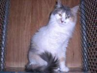 "Dilute Calico - "" Sugar "" 021c-13 - Large - Young -"