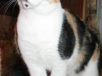 Dilute Calico - Tipper - Medium - Adult - Female - Cat
