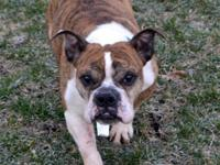 Dina is a female 5-7 year old English Bulldog who was