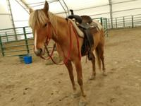 Dinero is a 13.3hh Quarter Pony. He is still very green