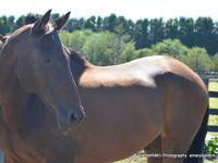 Dino is a 24 yr old gelding. 16h. Completed a