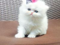 Diplomatic male and female Persian kittens for sale.for