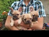 Rare opportunity to own an imported French Bulldog from