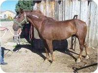 Disco is a sorrel gelding. We were told he was used as