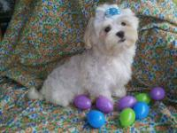 Meet Prince a Beautiful White CKC T-Cup male Maltese