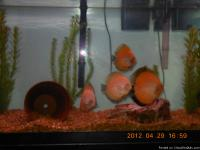 Beautiful home grown Discus fish (fresh water). Super