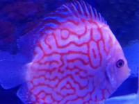 PRIMIUM QUALITY DISCUS very colorful and healthy! Best